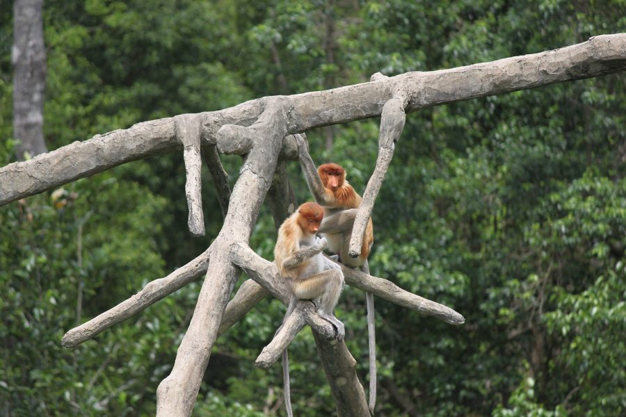 Proboscis Monkeys Borneo