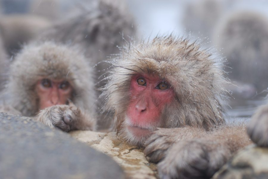Snow Monkey MyHoliday2