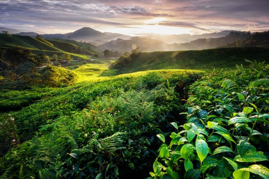 cameron highlands My holiday 2 Malaysia tour