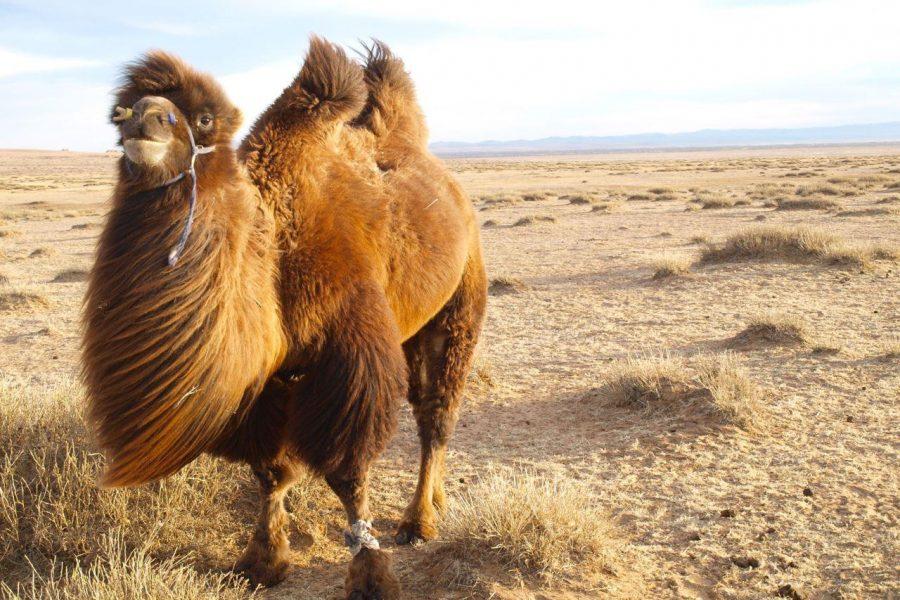 mongolia camel myholiday2