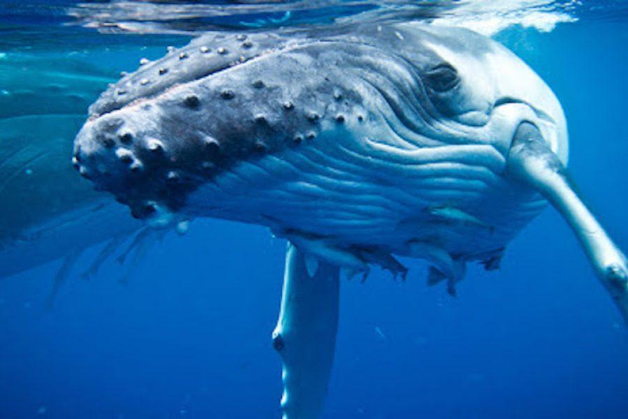 Whale Swim Tonga